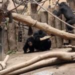 Kampf bei den Gorillas