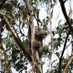 Wilder Koala