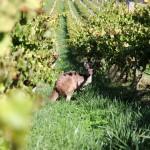 Kangaroo im Weingut