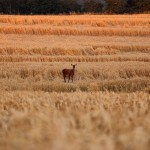 Deer in the Corn Field